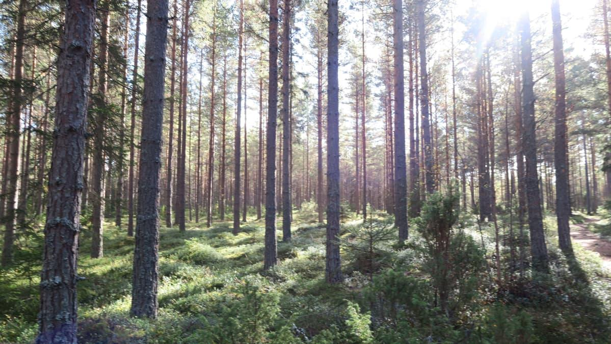 YLE – Puuni istuttaa Mikkeliin 5 000 puuntaimea sitomaan hiilidioksidipäästöjä